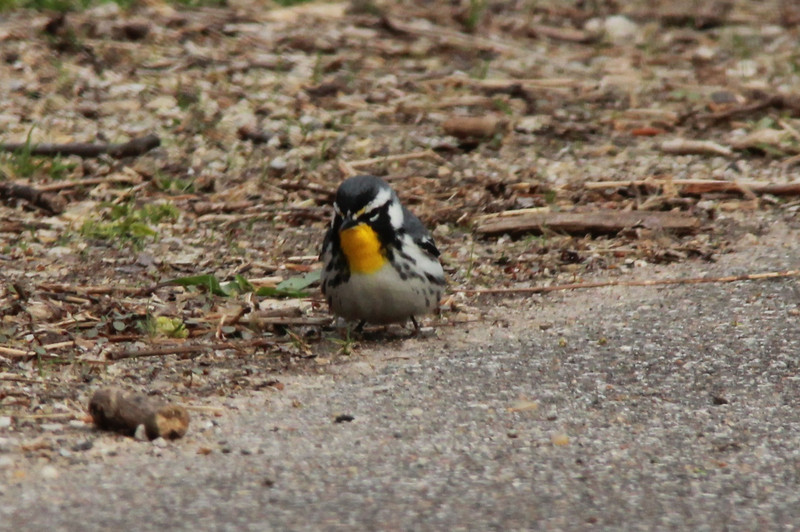 Yellow-throated Warbler @ Rockwoods Reservation [Glencoe Road]