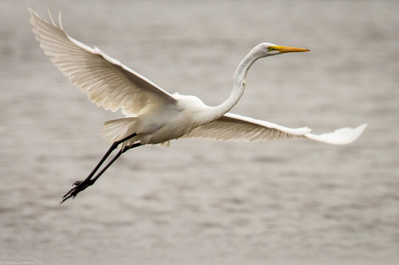 Egret Take-Off