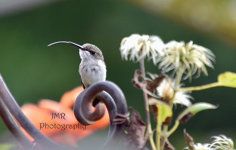 Humming bird tongue 2 .jpg