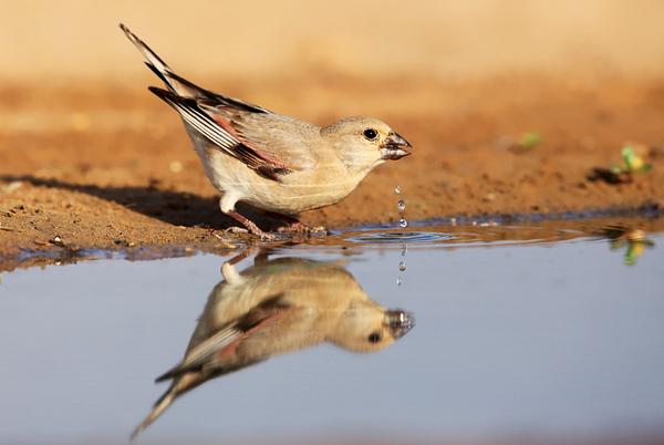Finchs- חצוצרנים