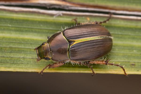 Pyronota setosa