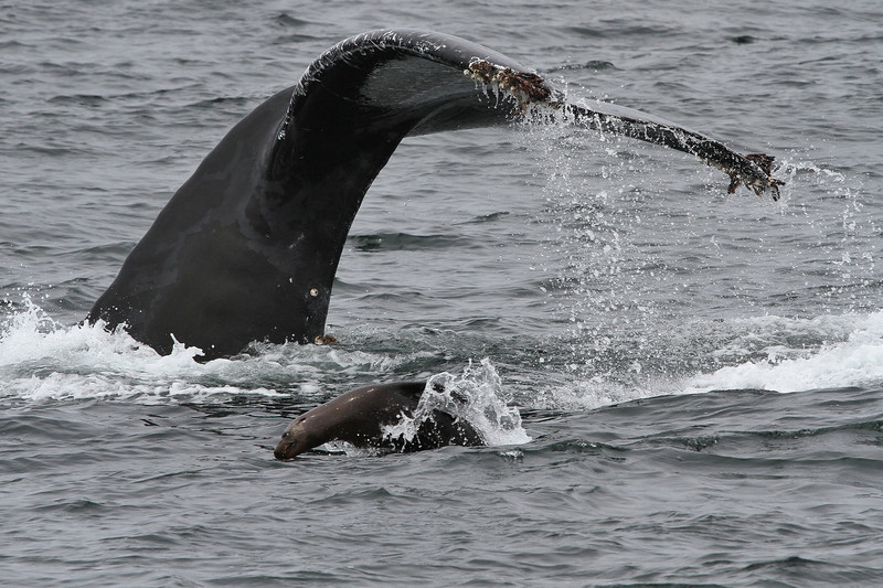 humpback and sea lion IMG_1787 (2).jpg