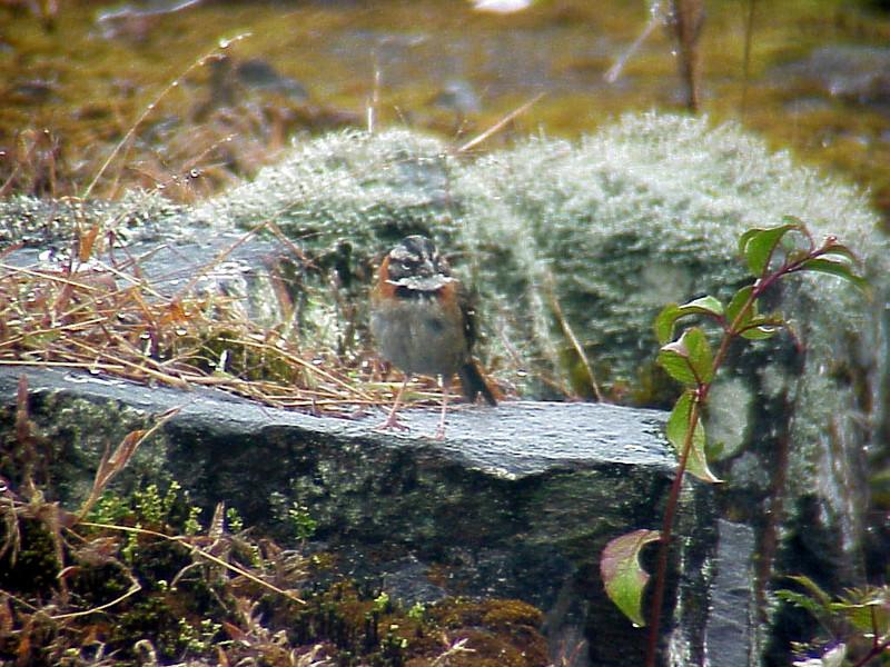 Rufous-collared Sparrow at Poas Volcano Lodge Costa Rica 2-10-03 (50898250)