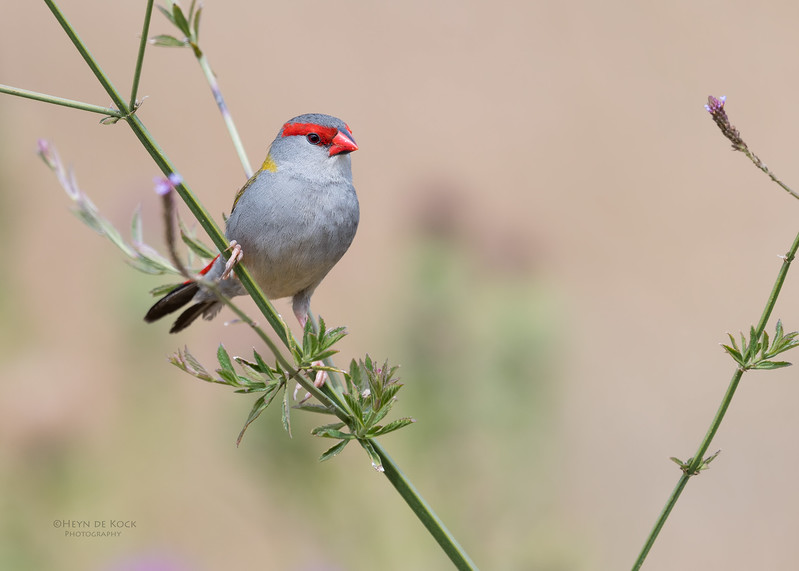 Red-browed Finch, Oxley Creek Common, Brisbane, QLD, Sept 2017-2.jpg