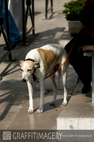 Beautiful Whippet in Chateauneuf du Pape