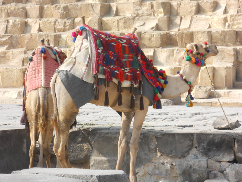 Camels at the Great Pyramids -- Kimberly Collins
