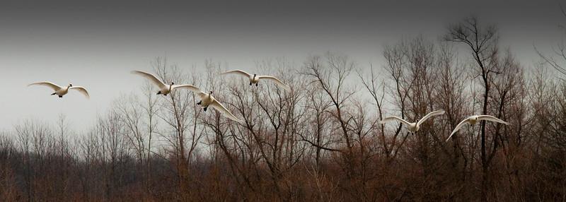 2011 swan migration aylmer (21 of 51).jpg