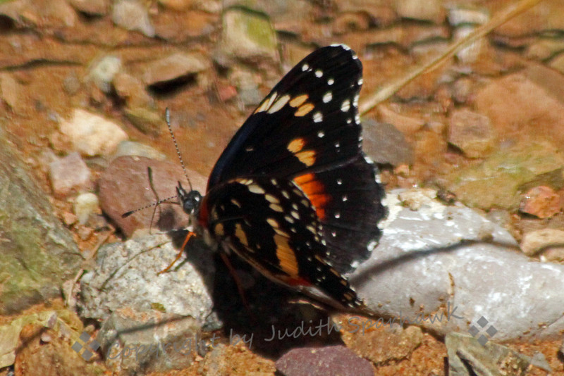 Bordered Patch Butterfly ~ Another view of this pretty little butterfly.