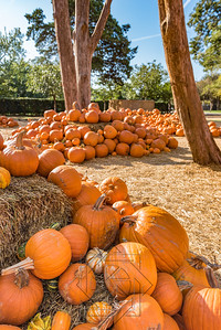 Close view of a cluster of pumpkins in a pumpkin patch