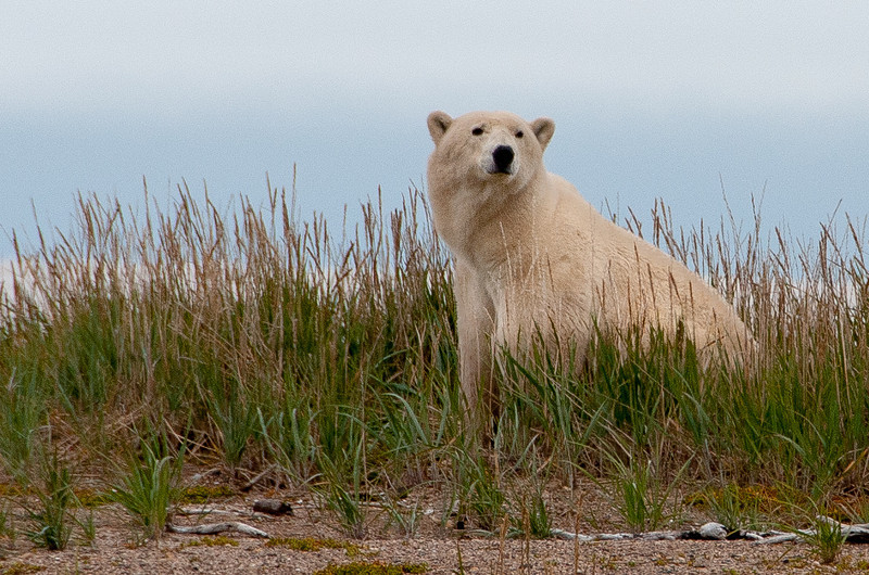 Polar Bear on the shore of Hudson Bay - York Factory, Manitoba