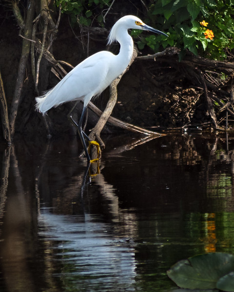 Snowy Egret, Fellsmere, Florida  (41567)