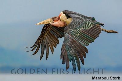Storks, Frigatebirds, Boobies & Gannets