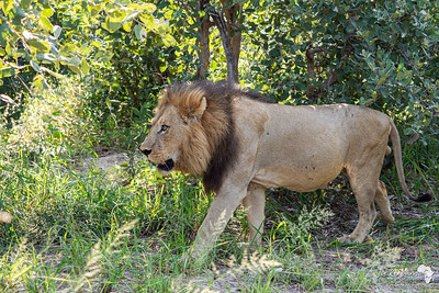 One of the pride's males