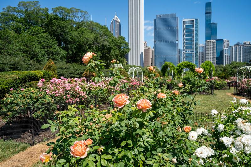 Rose garden in Chicago