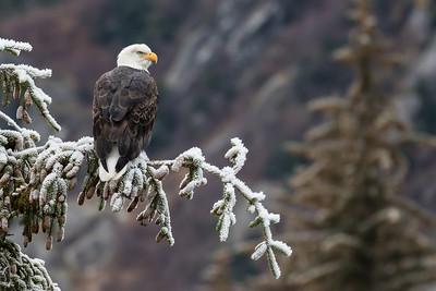 Alaska Eagles - Haines