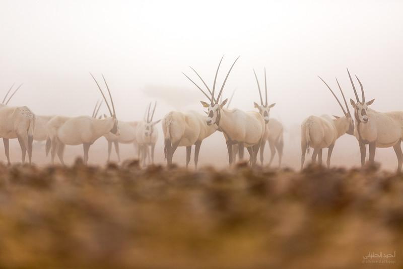 Arabian Oryx (51).jpg