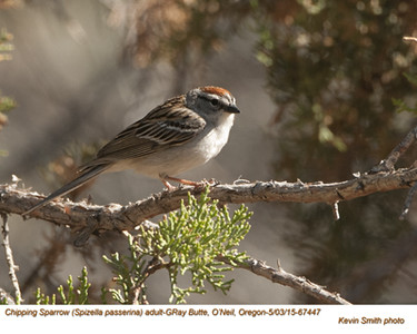 Chipping Sparrow A67447.jpg