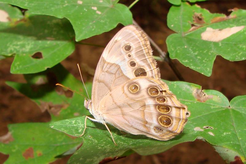 Southern Pearly-Eye (Lethe [Enodia] portlandia missarkae) female.  TX: Harrison Co. (Caddo Lake State Park), 3 September 2007.