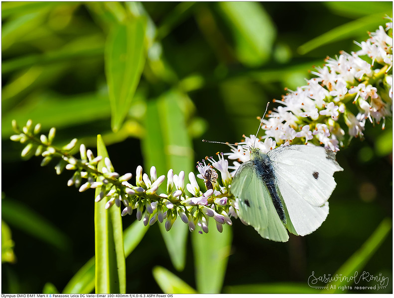Cabbage white butterfly feeding with friend. Best enjoyed when shared แบ่งๆกันดอมดมนะ