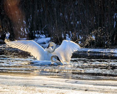 Piledriver Slough Swans