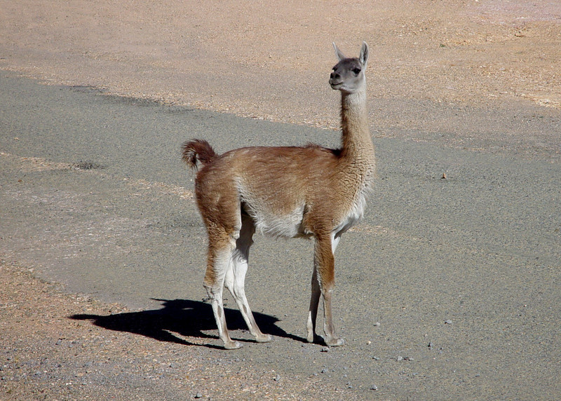 GUANACO - LAUCA NATIONAL PARK, CHILE