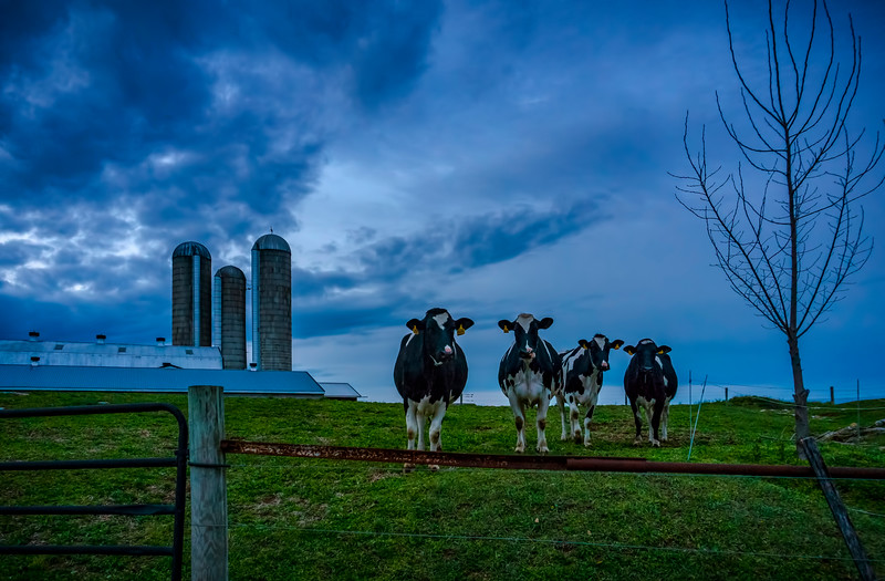 cows - agnus and the band(p).jpg