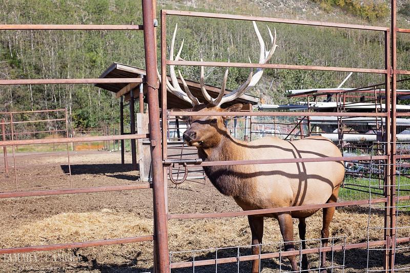Elk-4-2.jpg