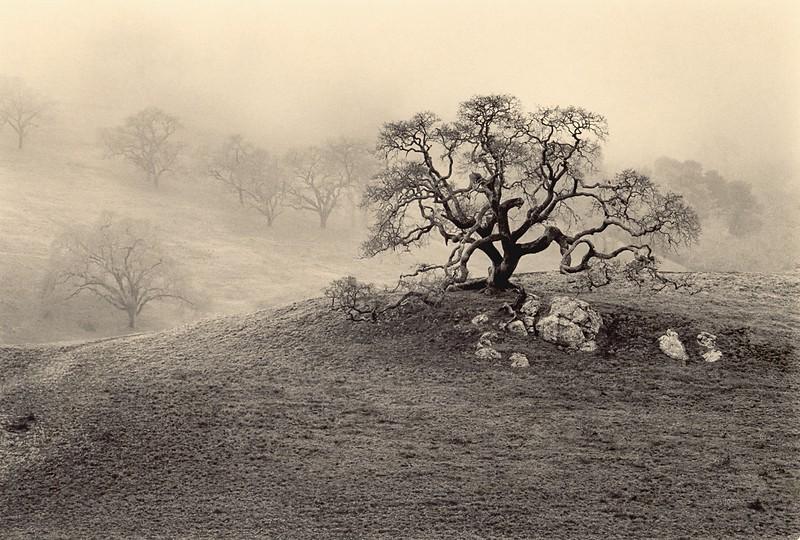 California Oak, Petaluma