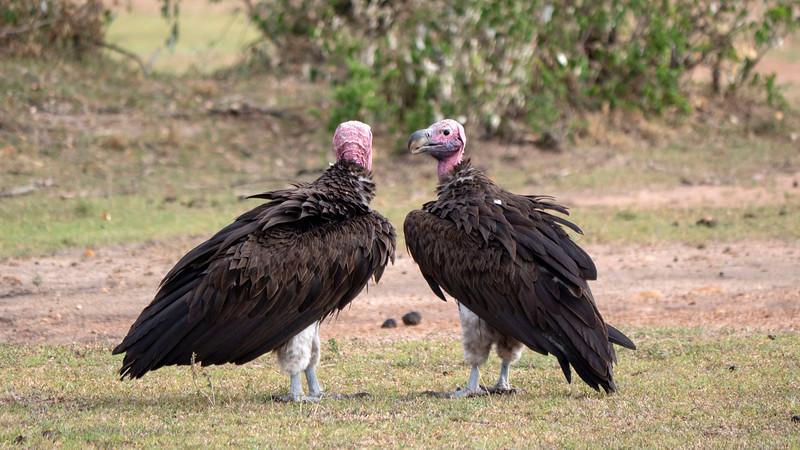 Tanzania-Serengeti-National-Park-Safari-Vulture-01.jpg