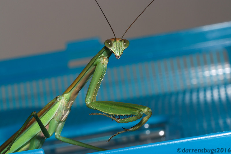 Chinese mantis (male), Tenodera sinensis, from Iowa.