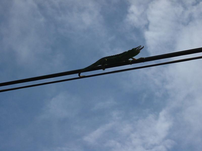 Jackson's chameleon (Chamaeleojacksonii) in Makawao (Maui Hawaii)   (16November2002) Copyright ©2002 by Philip A. Thomas.  Contact imagesbypt@philipt.com for permission to use.