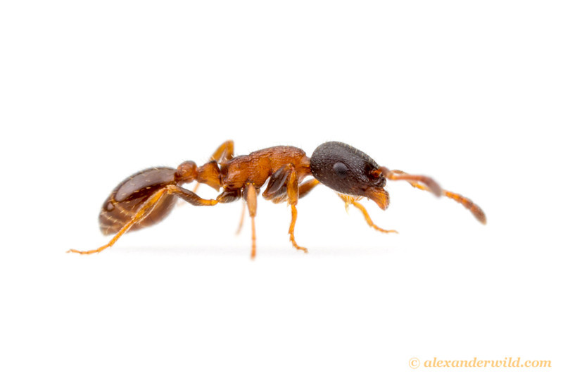 Leptothorax canadensis
