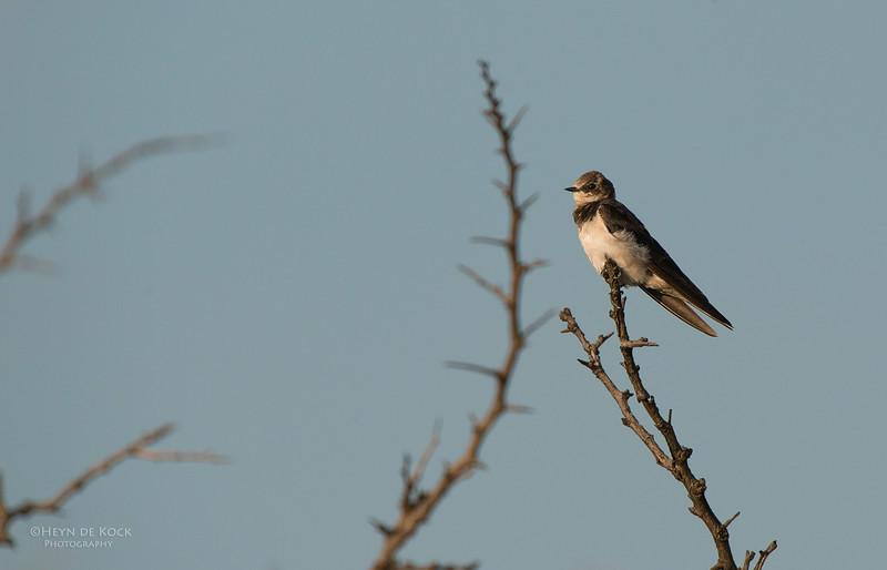 Barn Swallow, imm, Hluhluwe-Imfolozi NP, KZN, SA, Jan 2014.jpg