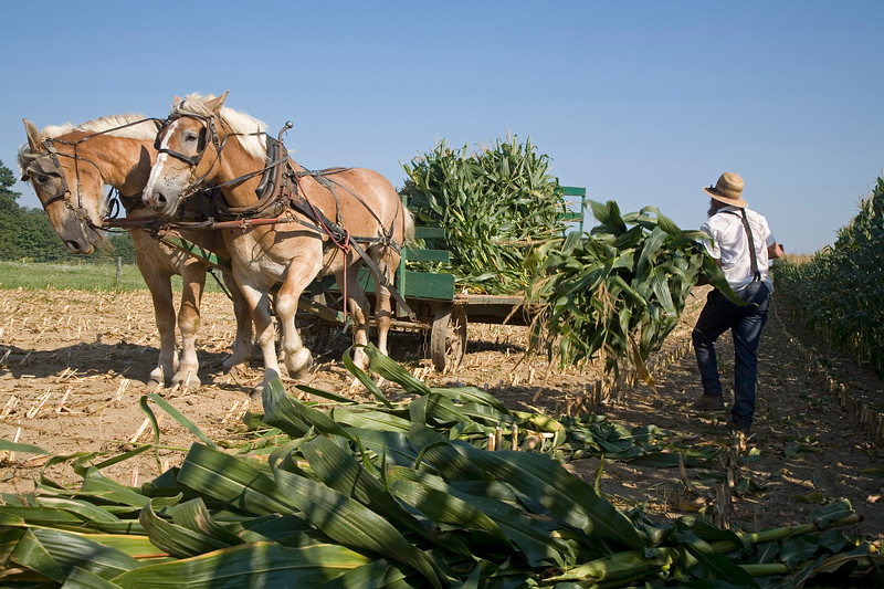 AMISH MAN HARVESTS CORN ON OHIO FARM