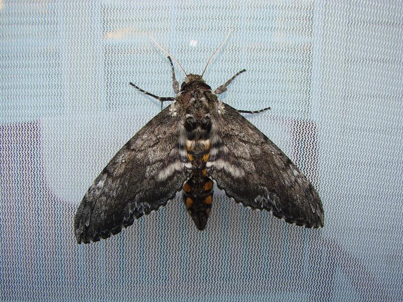 Carolina Sphinx (Manduca sexta) MOTH. TX: Tarrant Co. (Duhons' Fort Worth yard), 18 October 2008.