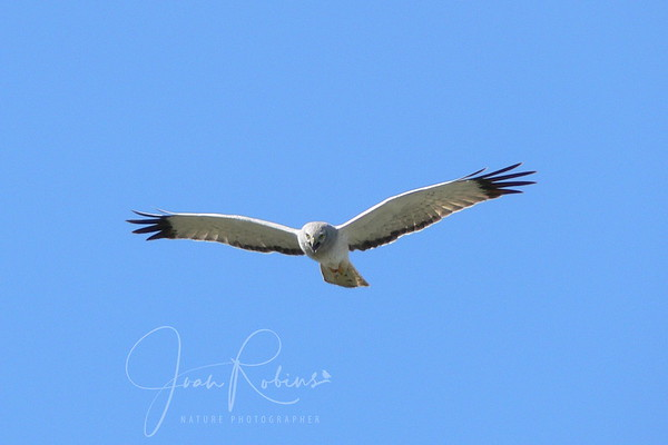 More Harriers and a Great Blue Heron March 8