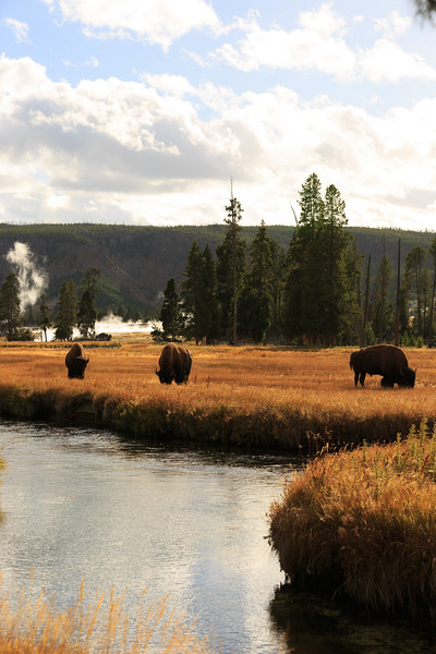 Buffalo along the Firehole River 002