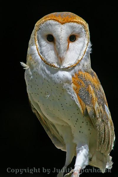 Barn Owl 2.jpg