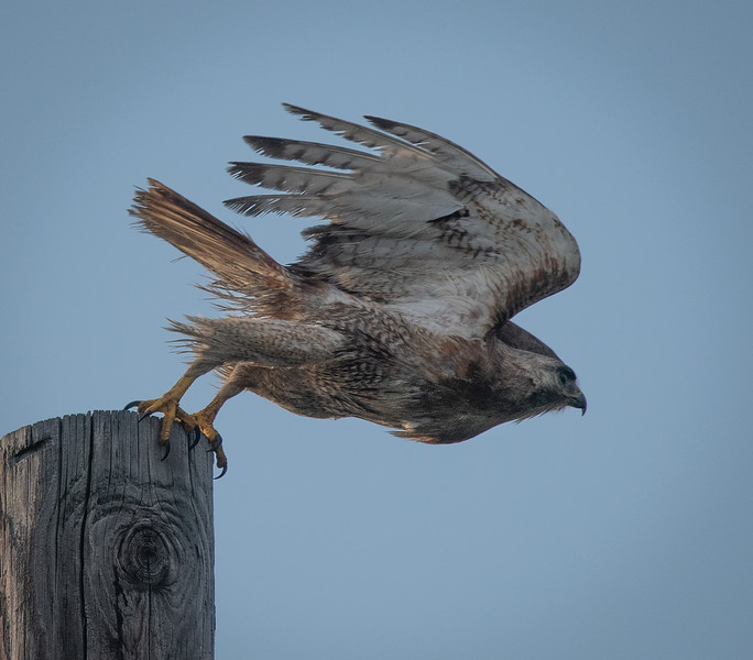 """Red-tailed Hawk """"Scrappy"""" lift off"""