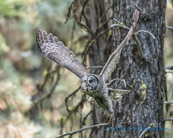 Spring Creek Owls