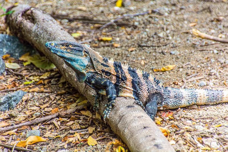 Ctenosaur_Costa Rica