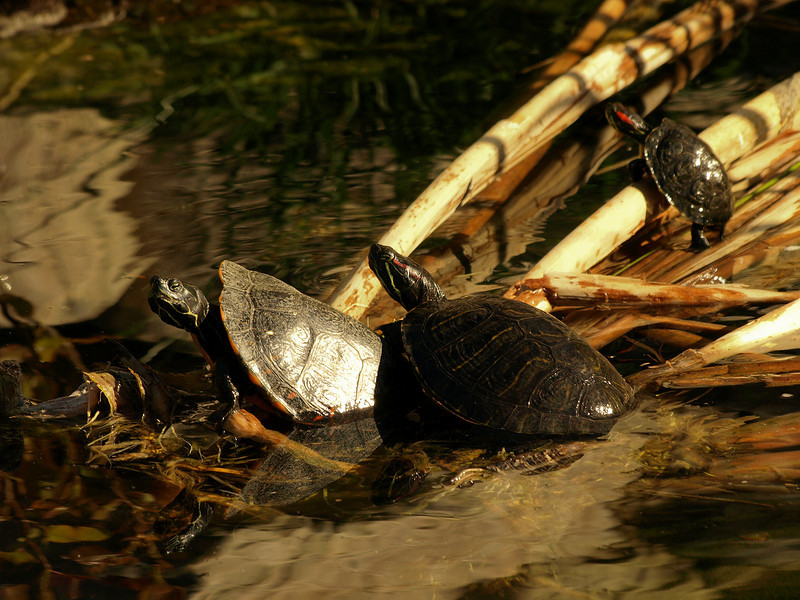 Turtles in the sun.