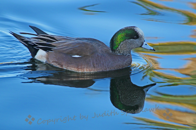 American Wigeon ~ I loved the glow of his irridescent green and the almost mirror reflection on the lake.