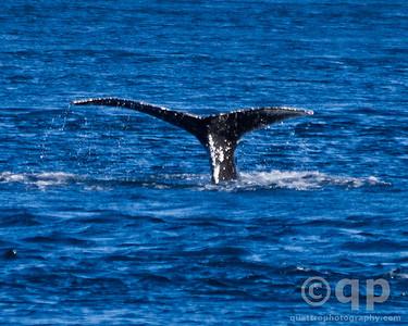 Humback Whales. Johnstone Strait, BC