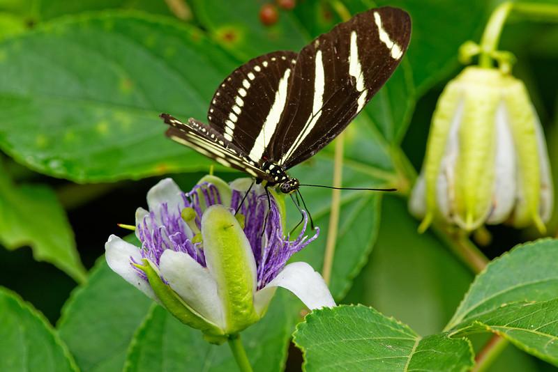 Zebra Heliconius (Heliconius charithonia) feeding on maypop/purple passionflower (Passiflora incarnata)