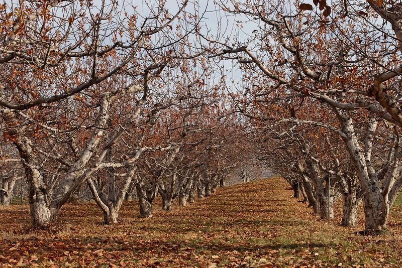 Apple Trees: Wenatchee, WA