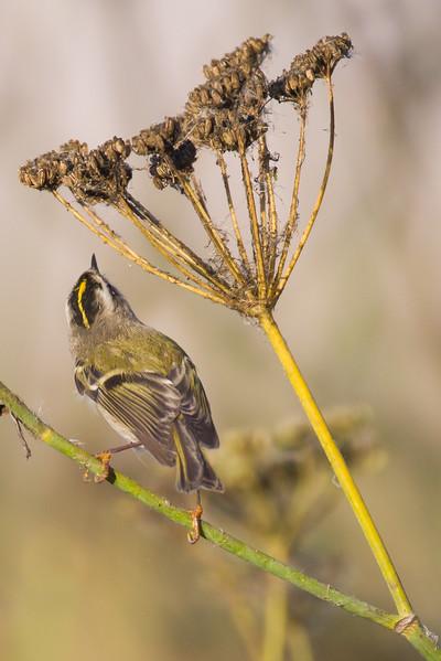 Golden-crowned Kinglet - Coyote Hills Regional Park, Fremont, CA, USA