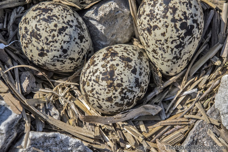Killdeer-eggs-nest-closeupPS-Canton.jpg