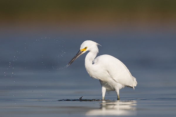 A Moment and the Snowy Egret