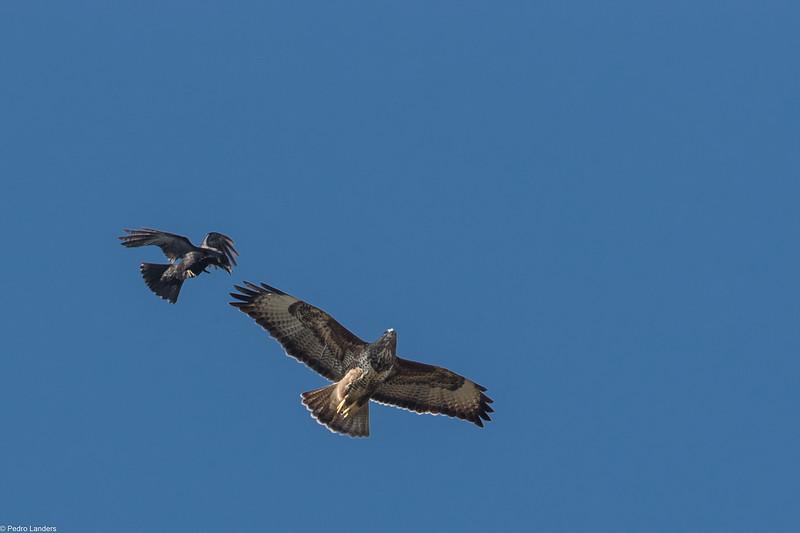 Pesky Crow